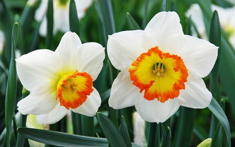 The narcissus plant pretty but deadly prescription for murder parts of the beautiful flowering narcissus plant can be quite poisonous and narcissus mightylinksfo