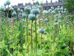 opium plants